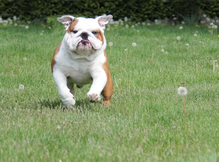 25 years old: dog running in the grass - english bulldog 2.5 years old