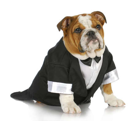 formal attire: english bulldog wearing black tuxedo and tails on white background