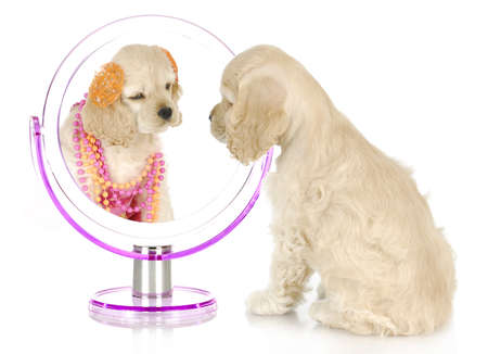 vanity: beauty within - american cocker spaniel puppy looking at itself dressed up in the mirror - 8 weeks old