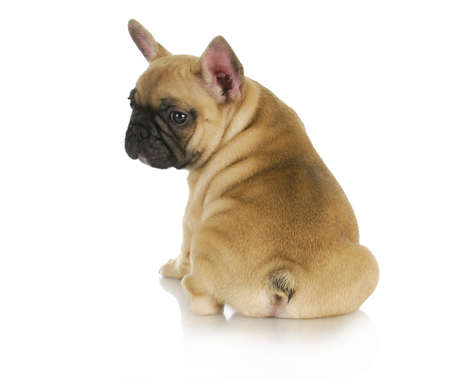 cute puppy - french bulldog puppy sitting looking over shoulder on white background - 8 weeks old photo
