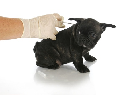 microchip: microchipping puppy - french bulldog puppy being microchipped - 8 weeks old