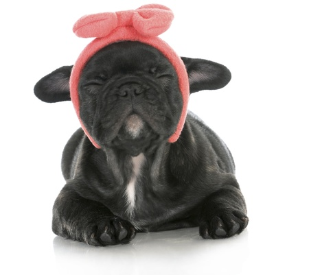 cute female puppy - french bulldog puppy wearing pink head band making silly face - 8 weeks old photo