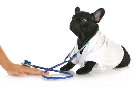 french bulldog puppy: veterinary care - french bulldog doctor taking care of human patient on white background