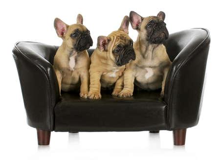 소파: 강아지의 쓰레기 - 흰색 배경에 소파에 앉아 세 프랑스 불독 강아지 - 8 주 오래