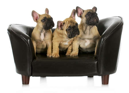 litter of puppies - three french bulldog puppies sitting on a couch on white background - 8 weeks old photo