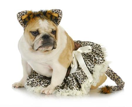 like english: dog dressed like a cat - english bulldog wearing cat costume on white background