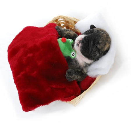 naptime: puppy bedtime - english bulldog puppy tucked into bed - 3 weeks old Stock Photo
