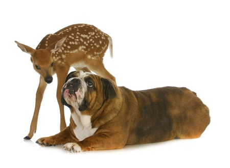 dog and deer - english bulldog and fawn together on white background Stock Photo - 14928594