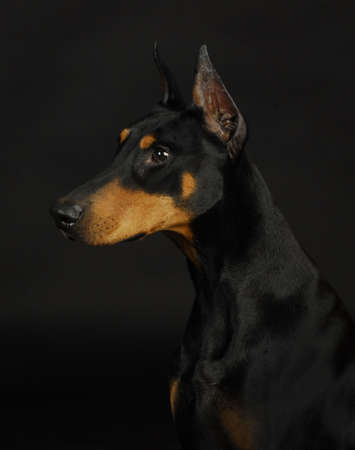 doberman pinscher  - female 3 years old photo