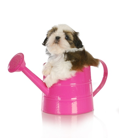 lying on side: cute puppy in a pink watering can - shih tzu puppy - 6 weeks old Stock Photo