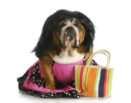female dog - english bulldog wearing wig and dress sitting beside purse photo