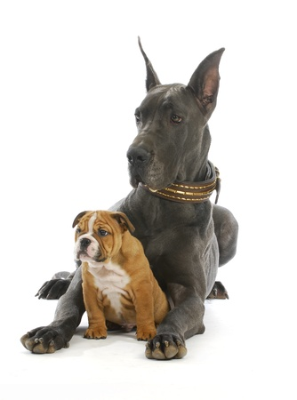 big and small dog - great dane and english bulldog puppy on white background  photo
