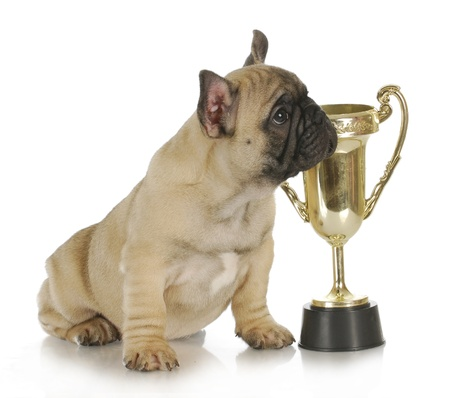 winning dog - french bulldog puppy sitting beside trophy - 8 week old frenchie puppy photo