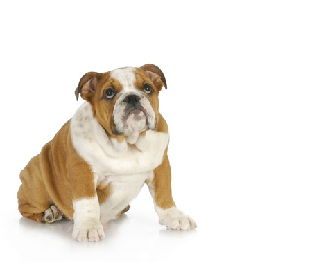 guilty looking puppy - english bulldog puppy looking up with guilty expression  photo