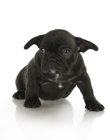 french bulldog puppy - 8 weeks old photo