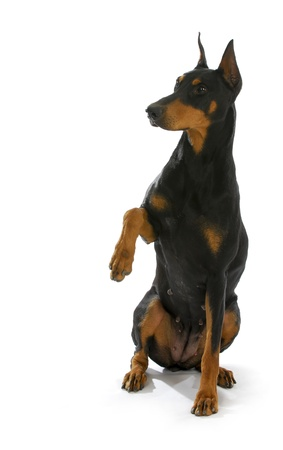 brown dobermann: shake a paw - doberman pinscher with paw held up ready to shake a paw on white background