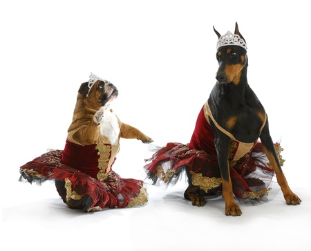 bad ballerinas - english bulldog and doberman pinscher dressed up like ballerinas on white background photo