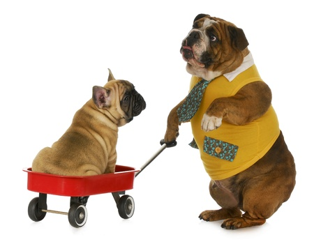 dog pulling a wagon - english bulldog pulling a wagon with a french bulldog in it on white background photo