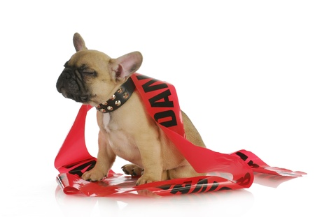 reprimanding: naughty dog - french bulldog with silly expression wrapped in danger tape - 8 weeks old