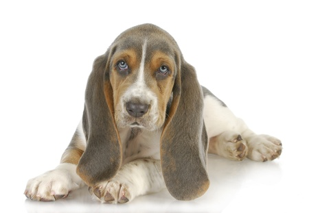 cute puppy - basset hound puppy laying down on white background - 8 weeks old photo