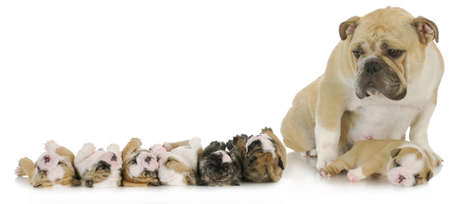 eyebrow raised: mother and her puppies - english bulldog mother with her puppies Stock Photo