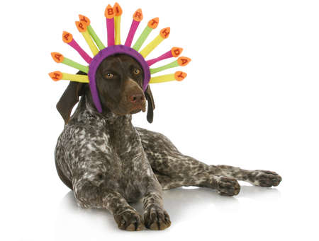 german girl: birthday dog - german short haired pointer wearing a birthday hat on white background
