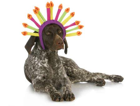 saçlı: doğum günü köpek - beyaz arka plan üzerinde bir doğum günü şapka giyen Alman kısa tüylü pointer Stok Fotoğraf