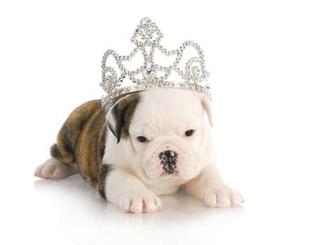pampered pets: puppy princess - english bulldog puppy wearing tiara - 6 weeks old  Stock Photo