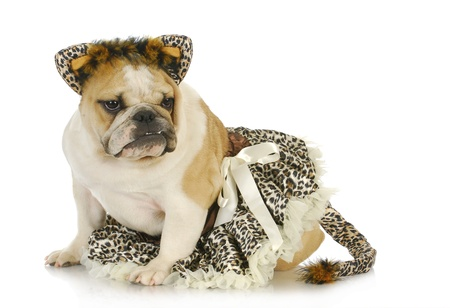 dog dressed like a cat - english bulldog wearing cat costume on white background photo