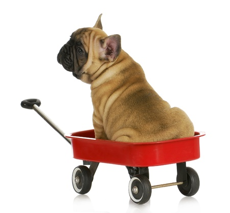 weeks: puppy in a wagon - french bulldog sitting in a red wagon - eight weeks old