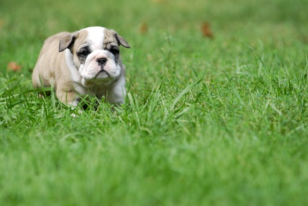 playing field: cute puppy in the grass - english bulldog puppy 5 weeks old