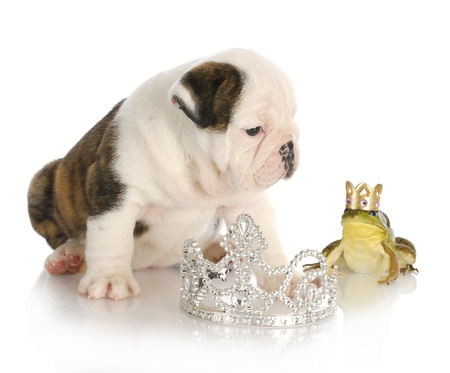 fairytale concept of kissing handsome prince - english bulldog princess kissing handsome prince frog wearing crown photo