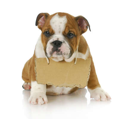 old english: puppy with a message - english bulldog puppy with a sign around his neck on white background 8 weeks old Stock Photo