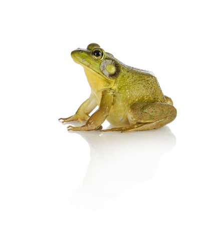 bullfrog: bullfrog species from southwestern ontario - studio shot isolated