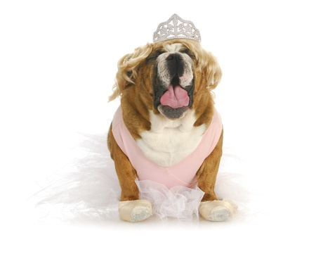 toddlers in tiaras - english bulldog making fun of toddlers in tiaras Stock Photo - 15315699