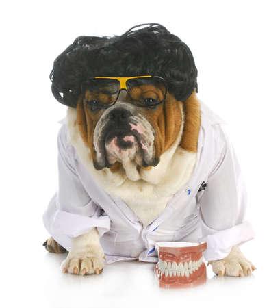 dog health: cane odontoiatria - bulldog inglese dentista in camice da laboratorio con i denti