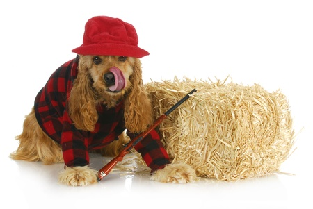 cap hunting dog: hunting dog - cocker spaniel wearing plaid shirt and red hat with rifle sitting beside bale of straw Stock Photo