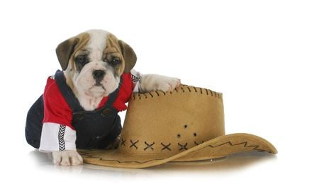country dog - english puppy dressed up in jeans sitting beside western hat on white background photo