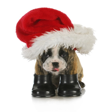 puppy santa - english bulldog dressed up with santa hat and boots on white background photo