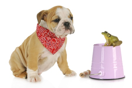 bullfrog: cute puppy with bullfrog - english looking at bullfrog sitting on a pail isolated on white background