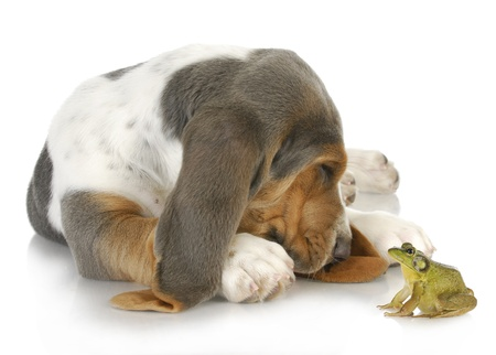 unusual friends - cute basset hound and bullfrog interacting on white background photo