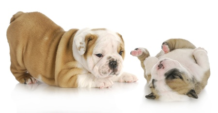 puppies playing - two english bulldog puppies playing isolated on white background