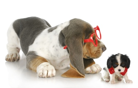 playful puppies - cute bassett hound puppy playing with cavalier king charles spaniel puppy photo