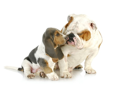 puppy love - cute basset hound and english bulldog together on white background photo