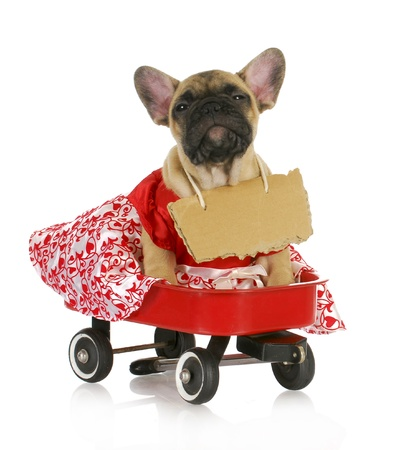 cute female puppy - french bulldog in a wagon with a sign around her neck photo