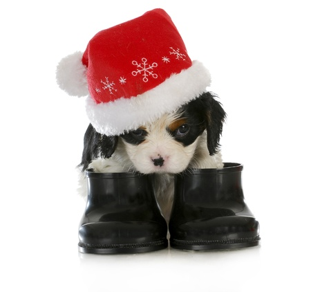 distressing: puppy santa - cavalier king charles spaniel puppy dressed up like santa on white background