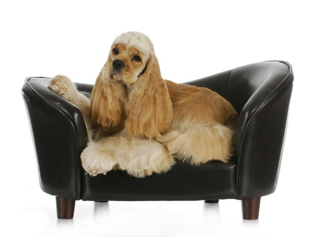 dog laying on a couch - american cocker spaniel laying on a dog bed isolated on a white background photo