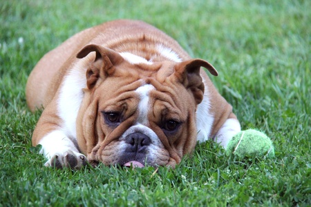 running nose: dog begging to play ball - english bulldog laying beside tennis ball in the grass