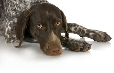 hunting dog - german shorthaired pointer laying down isolated on white background photo