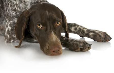 shorthaired: perro de caza - Pointer alem�n de pelo corto que se establecen aisladas sobre fondo blanco Foto de archivo